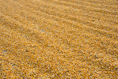 Corn kernels. A vast pile of corn kernels extracted from the cobs Royalty Free Stock Images