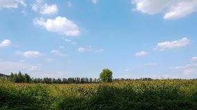 Corn land. There's a corn land beside a path Stock Photo