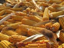 Corn lat. Zea mays stock image