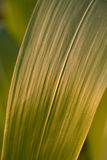 Corn leaf Stock Photo