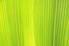 Corn Leaf close-up Royalty Free Stock Photo