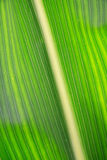 Corn Leaf close-up Royalty Free Stock Images