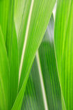 Corn Leaf close-up Royalty Free Stock Photos
