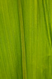 Corn Leaf Close-up Green Background. An abstract background of the corn leaf close-up royalty free stock photos