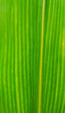 Corn Leaf Stock Photography