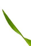 Corn Leaf ,isolated on white Stock Image