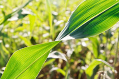 Corn leaf twist Stock Photography