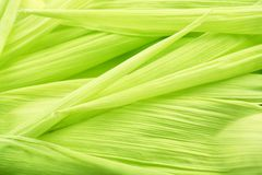 Corn leafs Royalty Free Stock Photography