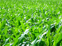 Corn leafs. Green corn leafs on the sun royalty free stock photography