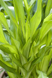 Corn leaves Royalty Free Stock Image