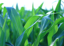 Corn leaves - background Royalty Free Stock Photo