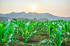Corn corn corn stock images