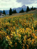 Corn lilies and Engineer Mountain in the Weminuche Wilderness, San Juan Range, Colorado. Corn lilies are a common sight in the wilderness areas of southwestern Royalty Free Stock Photography