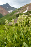 Corn Lillies and snow-capped mountains. Royalty Free Stock Photography