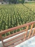 Corn line royalty free stock photography