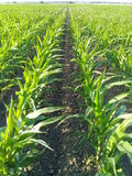 Corn lines Field Stock Images