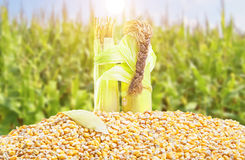 Corn love Royalty Free Stock Photo
