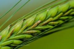 Corn macro Royalty Free Stock Photos