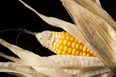 Corn, macro, yellow, ripe, appetizing, food, healt. Closeup of golden dry corn freshly harvest in autumn. Modern composition in studio on black background Royalty Free Stock Images