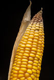 Corn, macro, yellow, ripe, appetizing, food, healt. Closeup of golden dry corn shooting in studio on black background Royalty Free Stock Photography