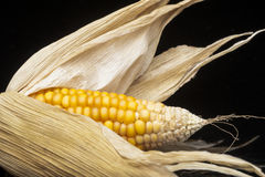 Corn, macro, yellow, ripe, appetizing, food, healt. Still life of ripe corn cobs freshly harvest in autumn. Modern and uncluttered composition in studio on black Stock Photography