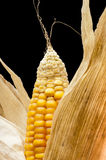 Corn, macro, yellow, ripe, appetizing, food, healt Stock Image