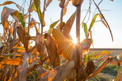 Corn maize cob ripe on field backlight by seting sun Royalty Free Stock Photography