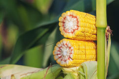 Corn Maize Cob on stalk in field Stock Photos