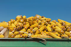 Corn maize cobs against crystal clear sky Stock Photography