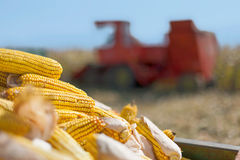 Corn maize cobs and combine harvester Stock Photos