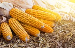 Corn maize cobs after harvesting season. Yellow tone Stock Photography