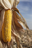 Corn maize ear. Ready for harvest Royalty Free Stock Photos