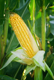 Corn Maize Ear on stalk in field. Corn Maize Ear with ripe yellow seed on stalk of a fully grown corn plant in cultivated agricultural field Stock Photography