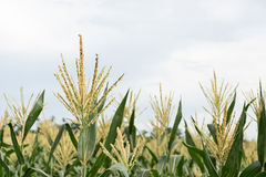 Corn maize farm Royalty Free Stock Image