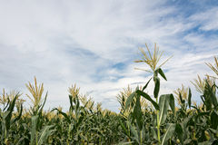Corn maize farm. Against blue sky Stock Photo
