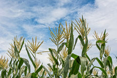 Corn maize farm Royalty Free Stock Images