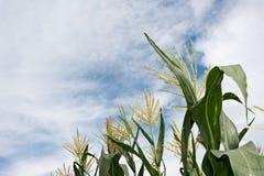 Corn maize farm Stock Photo