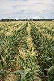 Corn maize farm Royalty Free Stock Photos