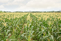 Corn maize farm Stock Photography