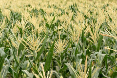 Corn maize farm Stock Photos
