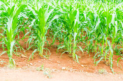 Corn, maize field Royalty Free Stock Image