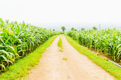 Corn, maize field Stock Images