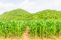 Corn, maize field Royalty Free Stock Photography