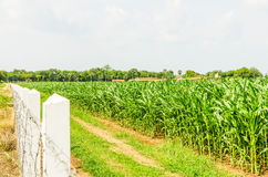 Corn, maize field Stock Photos
