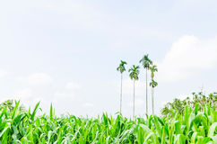 Corn, maize field Royalty Free Stock Photos