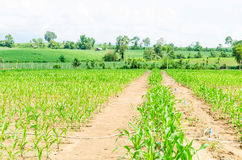 Corn, maize field Royalty Free Stock Images