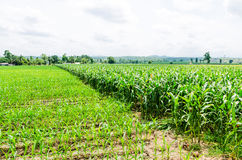 Corn, maize field Royalty Free Stock Photo