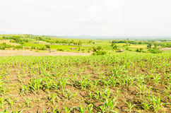 Corn, maize field Stock Image
