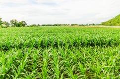 Corn, maize field Stock Photo