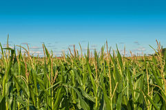 Corn Maize field with clouds Royalty Free Stock Image